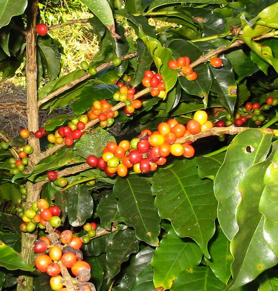 buah-kopi